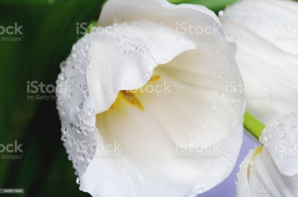 close-up photo of white tulip on a full background horizontal stock photo