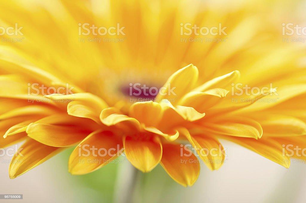 Closeup photo of yellow daisy-gerbera royalty-free stock photo