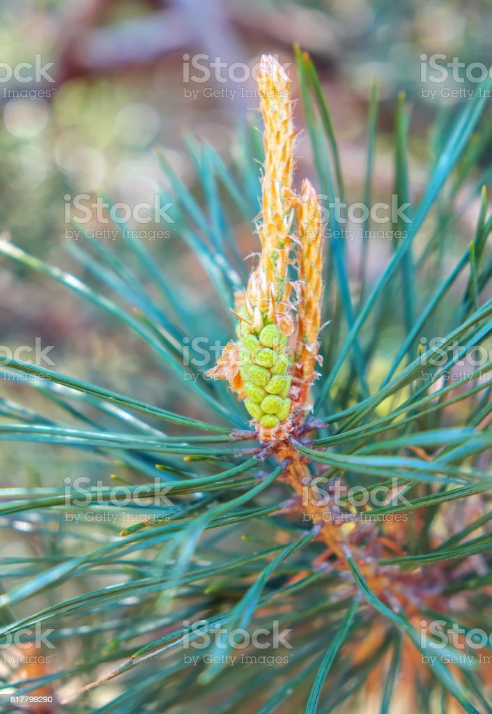 Close-up photo of young pine branch. Green fir tree stock photo