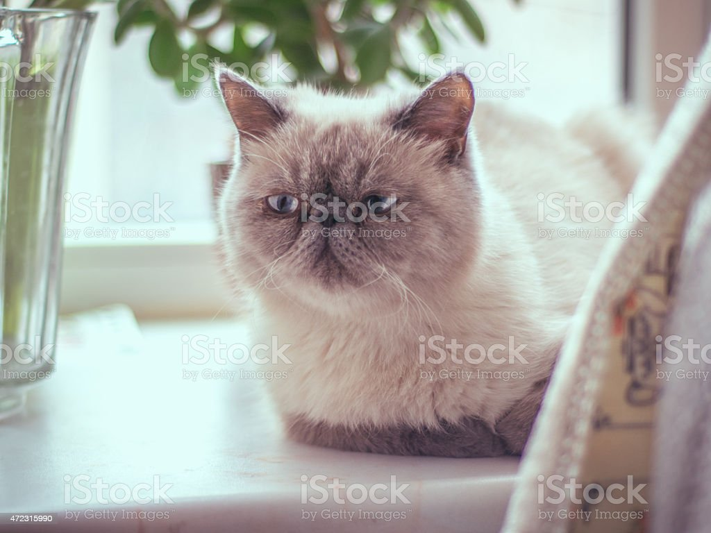 Closeup photograph of an exotic short haired cat lying down stock photo