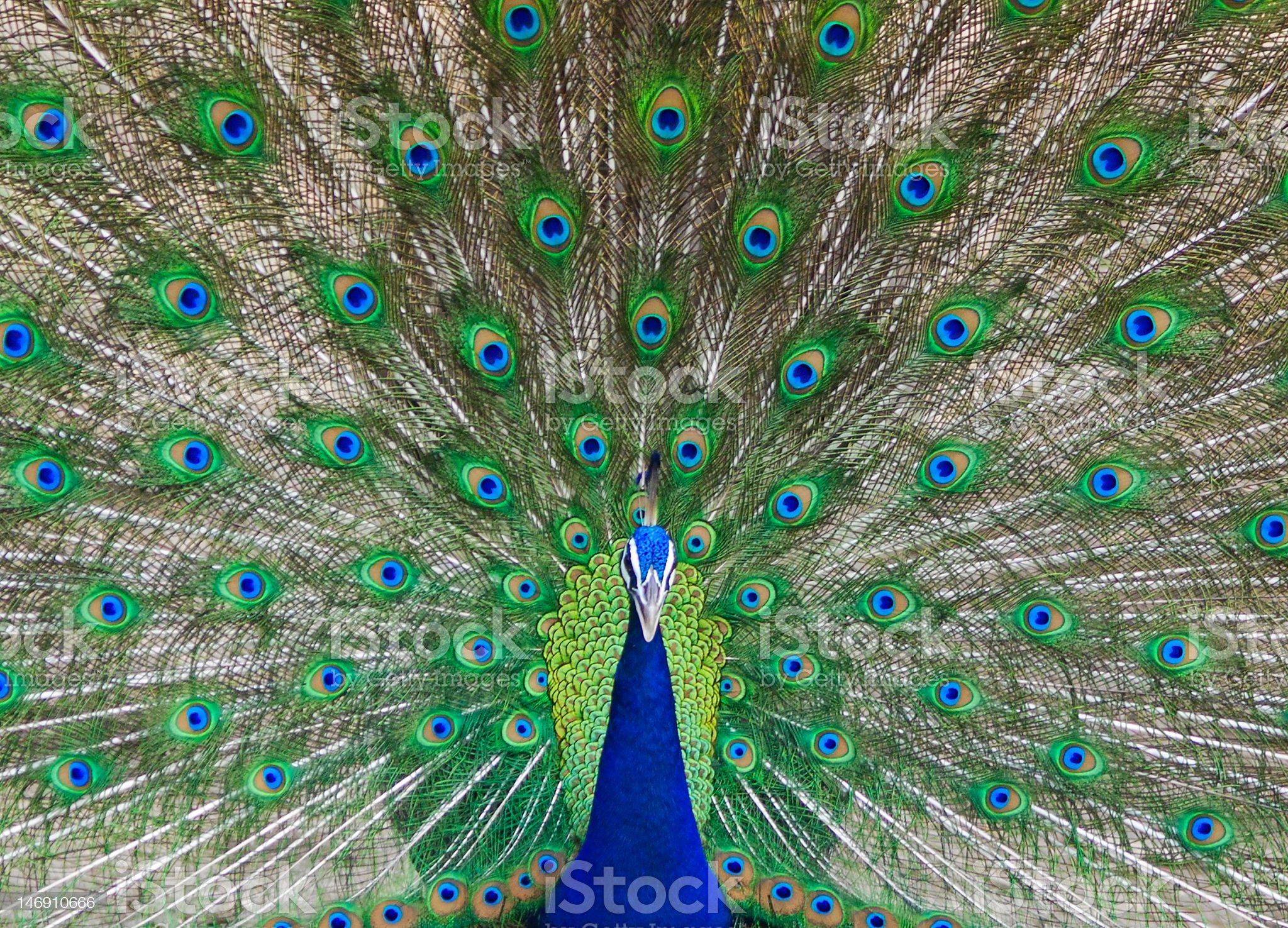 Close-up photograph of an Indian Peacock dancing royalty-free stock photo