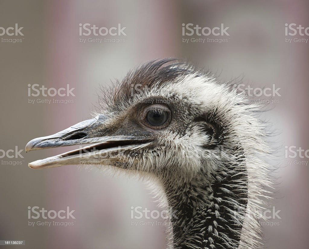 EMU closeup stock photo
