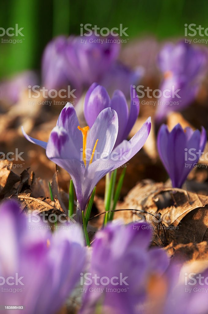 A close-up picture of a blooming purple Crocuses royalty-free stock photo