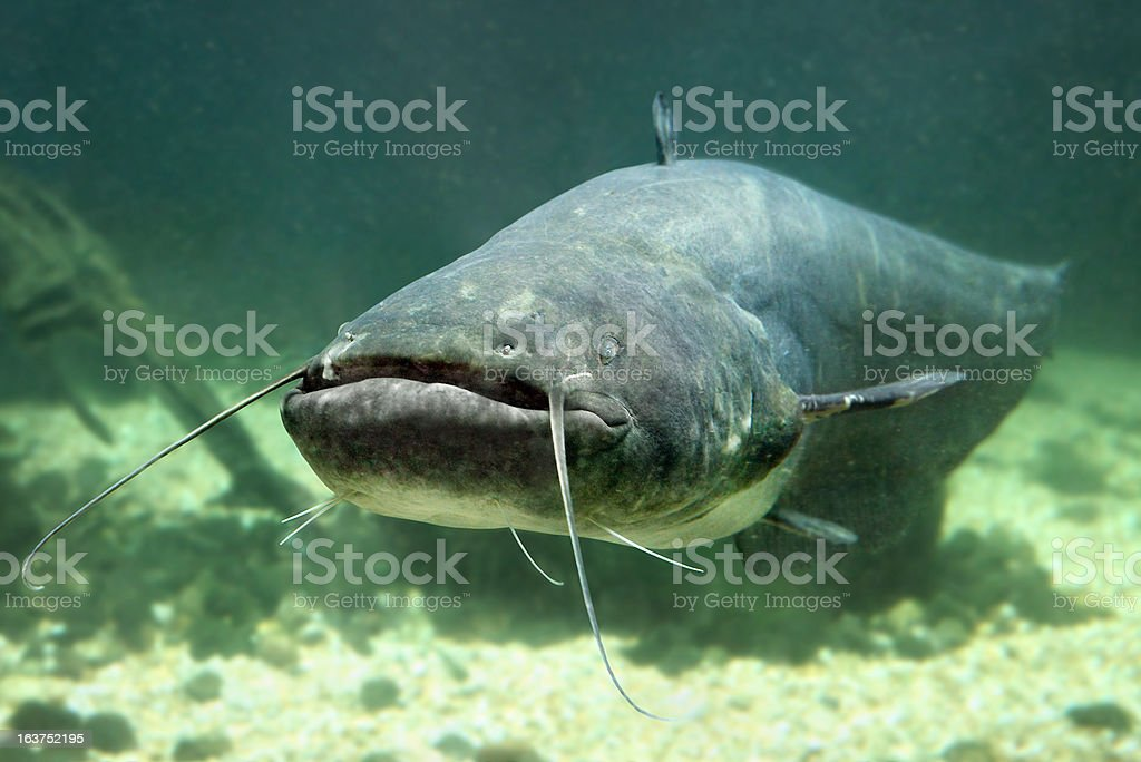 Close-up picture of a Catfish Silurus Glanis under water stock photo
