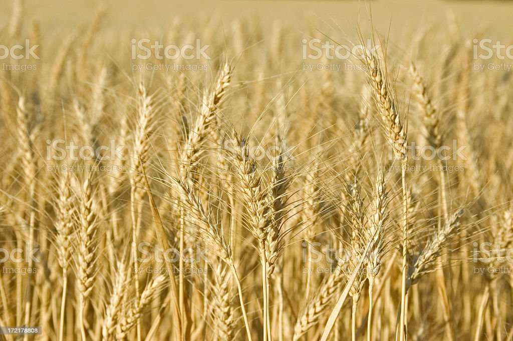 A closeup picture of a field of golden wheat royalty-free stock photo