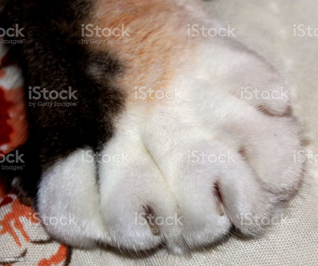 closeup picture of a large cat paw stock photo