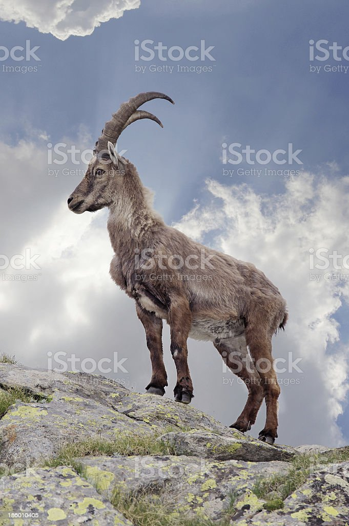 Closeup picture of a steinbock gazing at the distance stock photo