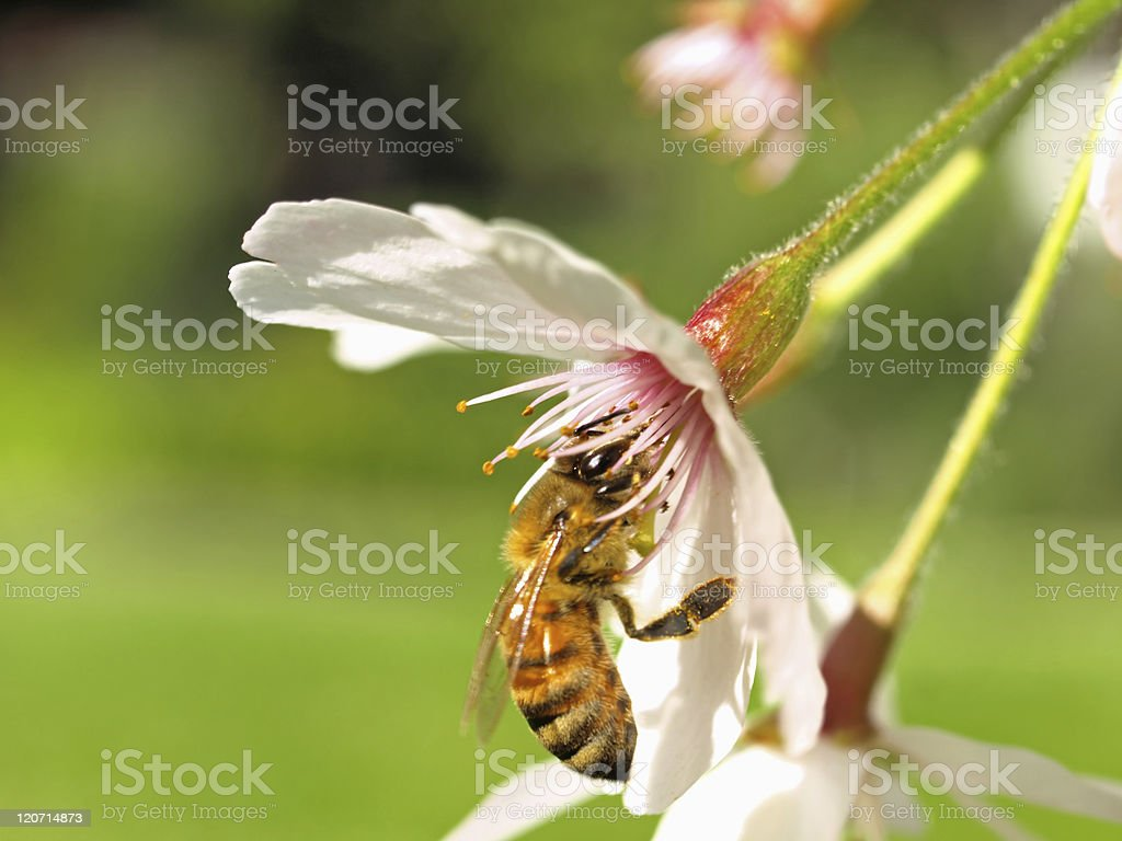 Closeup Picture of Cherry Blossom & Bee royalty-free stock photo