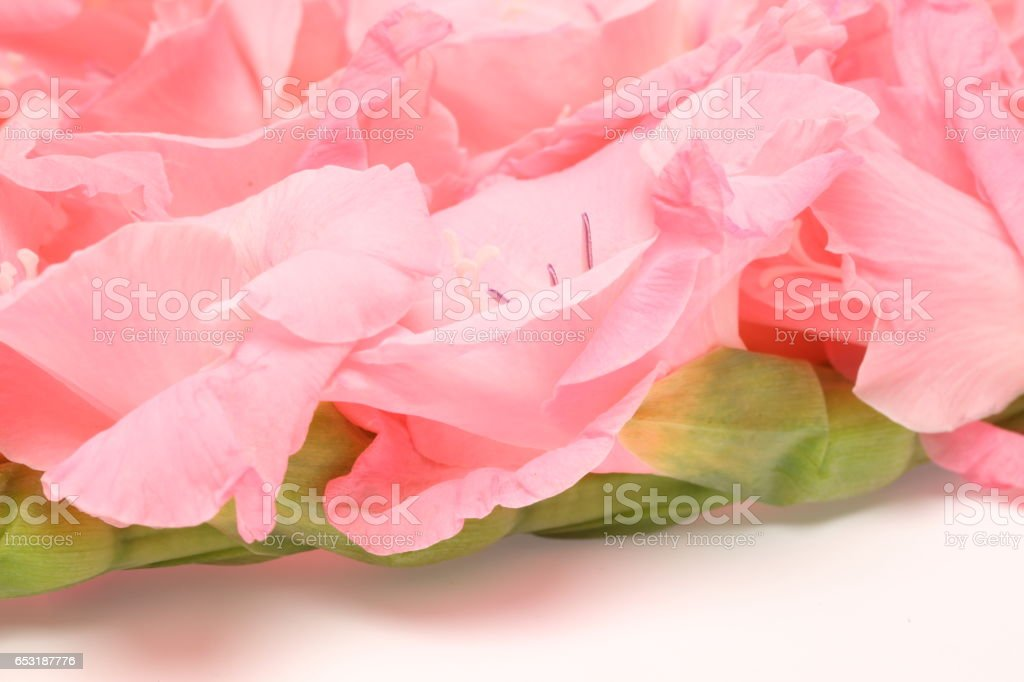 Closeup picture of Gladiolus stock photo