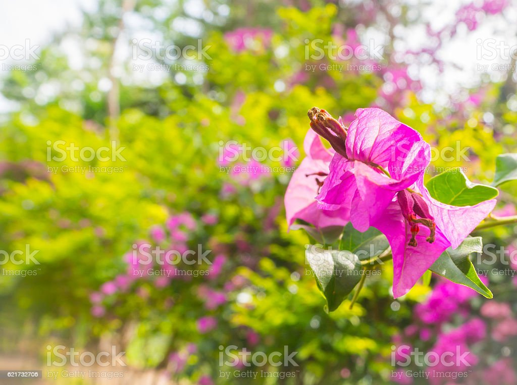 closeup pink Bougainvillea flower stock photo