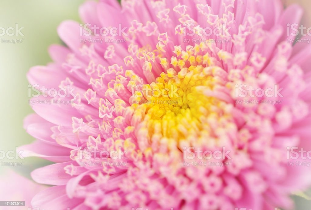 Closeup pink flower in garden for background stock photo