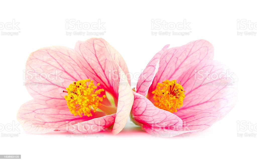 close-up pink flowers royalty-free stock photo