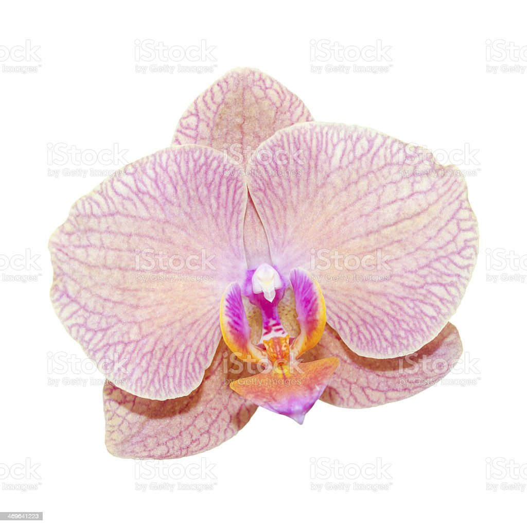 Close-up pink lilac orchid stock photo