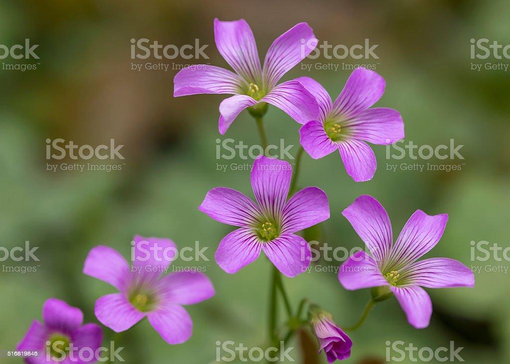 Closeup Pink oxalis  in garden stock photo