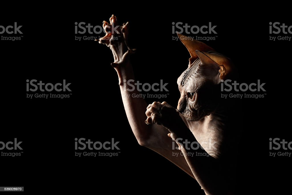 Closeup Playful Sphynx Cat Hunting Raising paws Isolated on Black stock photo
