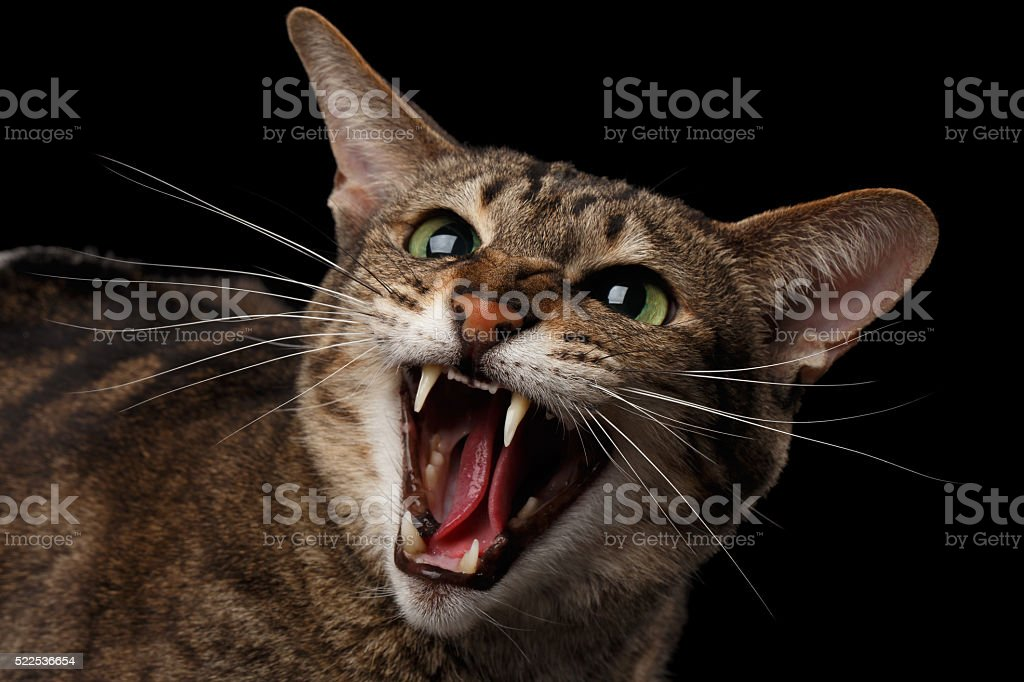 Closeup portrait Aggressive Oriental Cat Hisses in Camera, Black Isolated stock photo