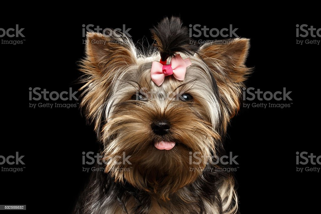 Closeup Portrait Happy Yorkshire Terrier Puppy Showing tongue, Isolated Black stock photo