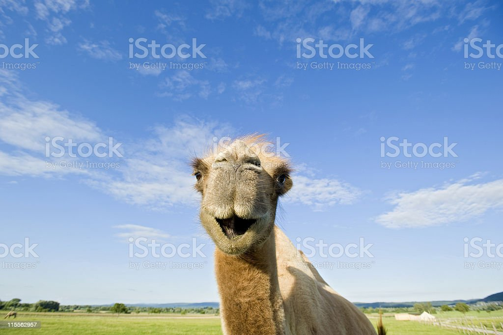 Closeup portrait of a Bactrian Camel in the green Steppe royalty-free stock photo