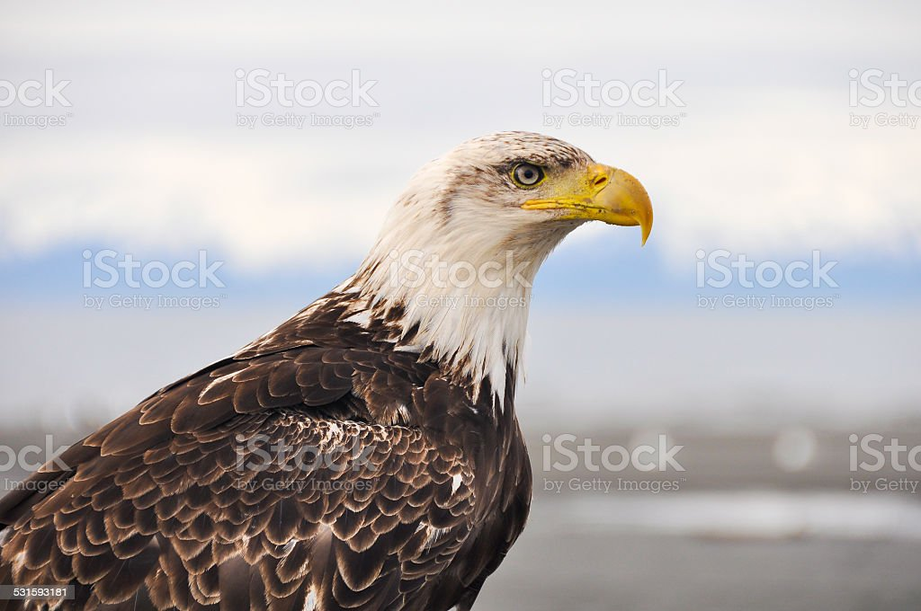 Closeup portrait of a bald eagle, Alaska stock photo