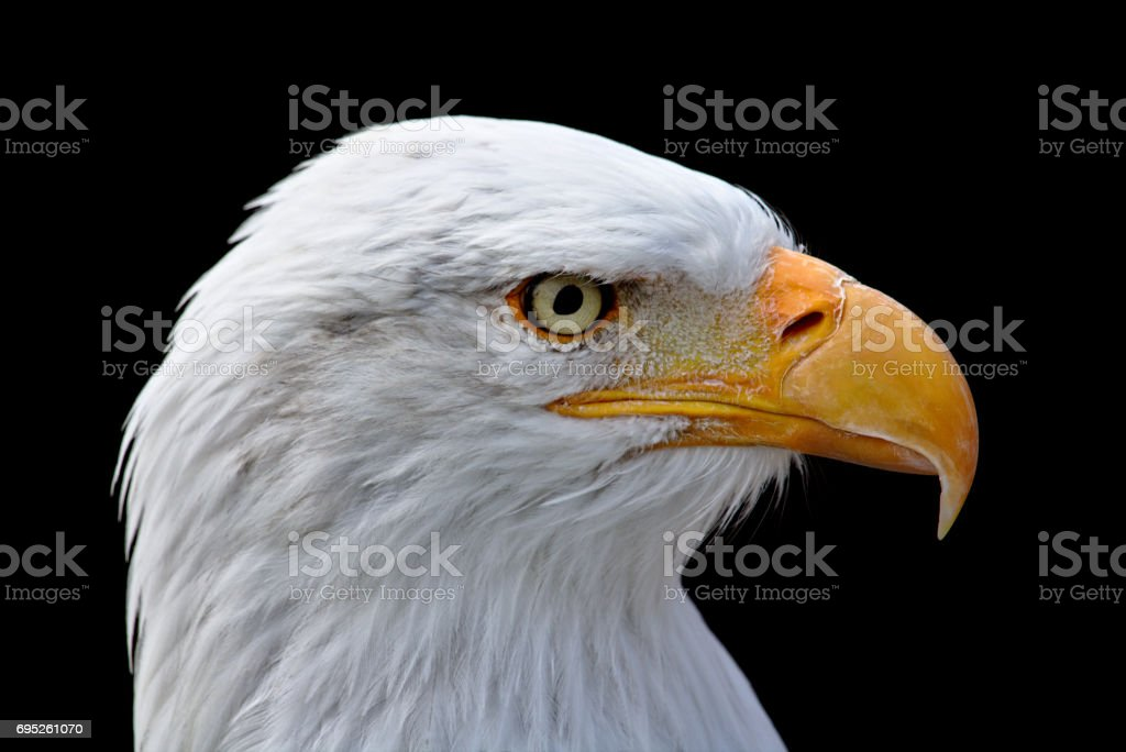 Closeup portrait of a bald eagle stock photo