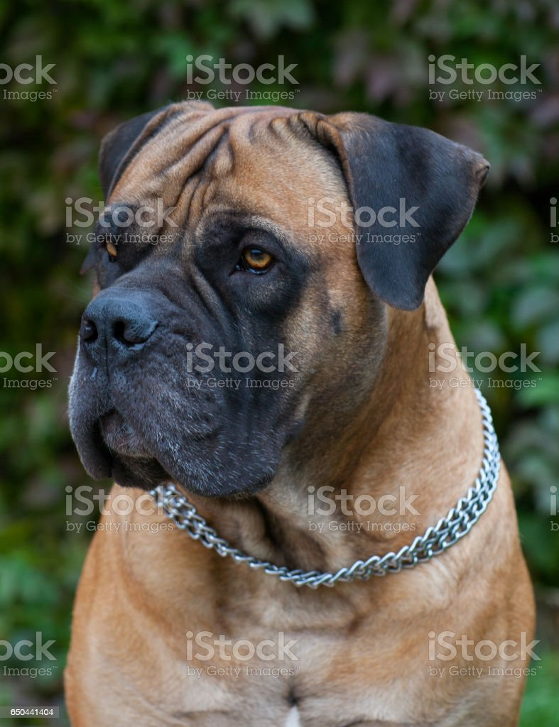 Closeup portrait of a beautiful dog breed South African Boerboel. South African Mastiff. stock photo