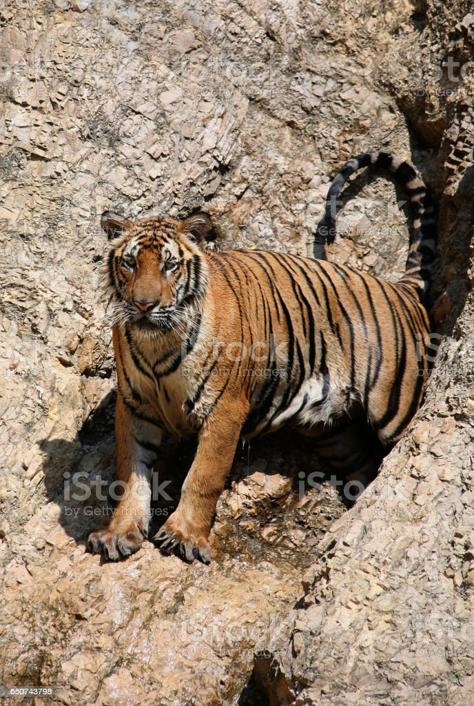 Closeup portrait of a big Indo-Chinese  tiger stock photo