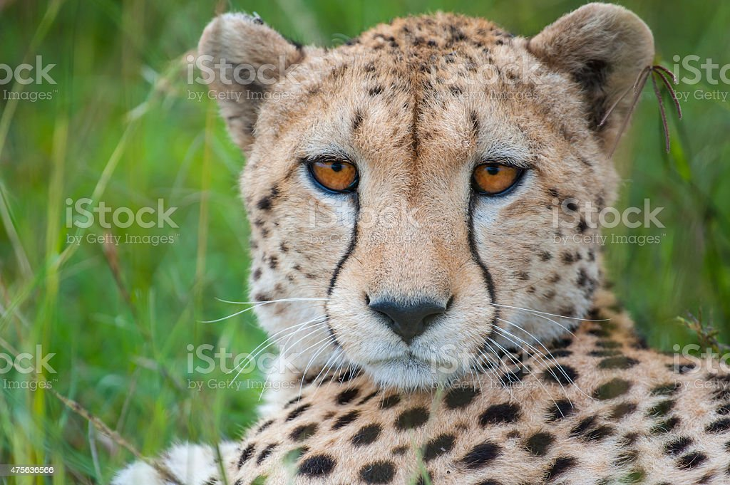 Close-up portrait of a Cheetah, Masai Mara, Kenya stock photo