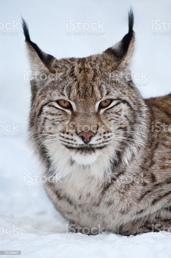 close-up portrait of a common lynx royalty-free stock photo