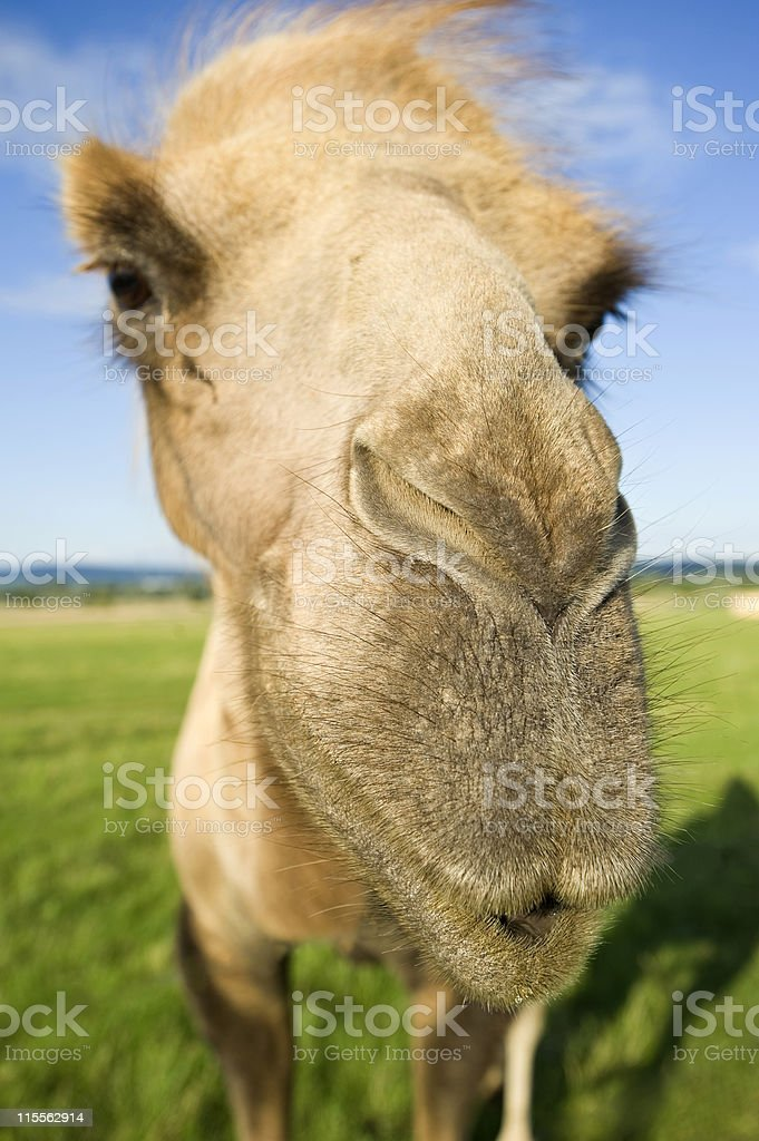 Closeup portrait of a crazy Camel royalty-free stock photo