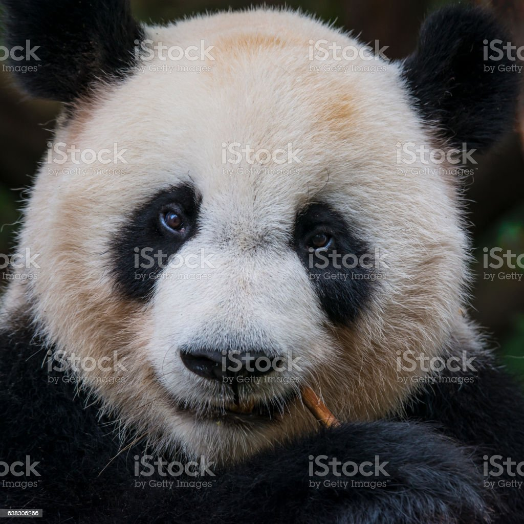 Close-up portrait of a Giant Panda bear (Ailuropoda melanoleuca) stock photo