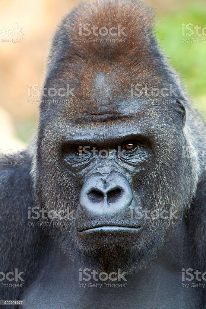 Closeup portrait of a gorilla male on rock background. stock photo