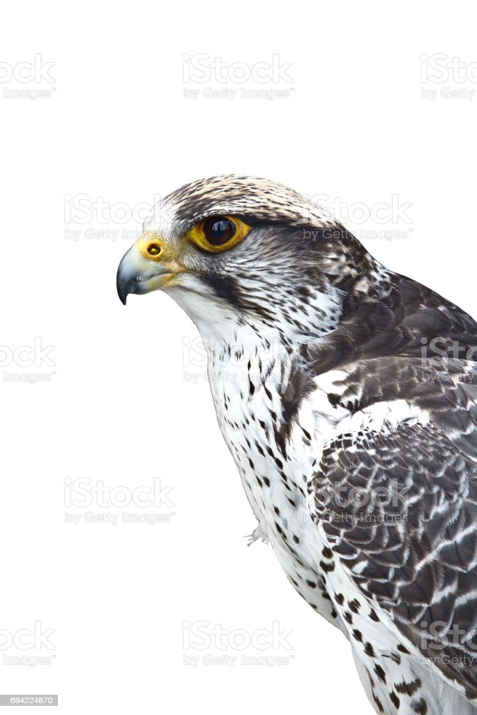Closeup portrait of a gyrfalcon stock photo