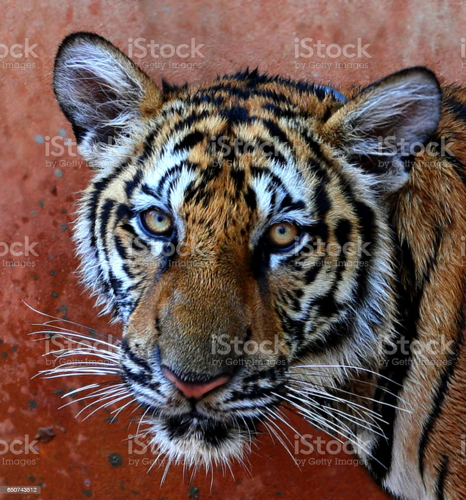 Closeup portrait of a Little Indo-Chinese  tiger stock photo