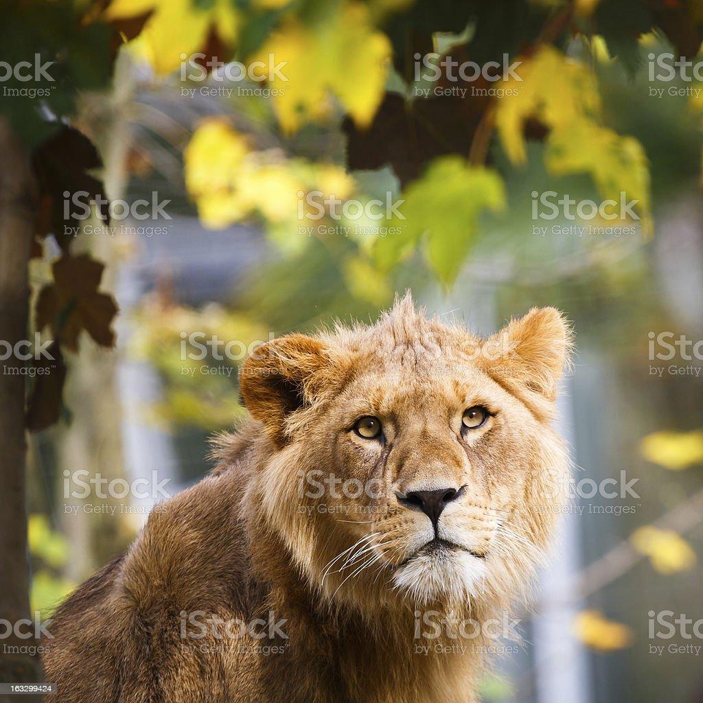 Close-up portrait of a majestic lioness (Panthera Leo) royalty-free stock photo