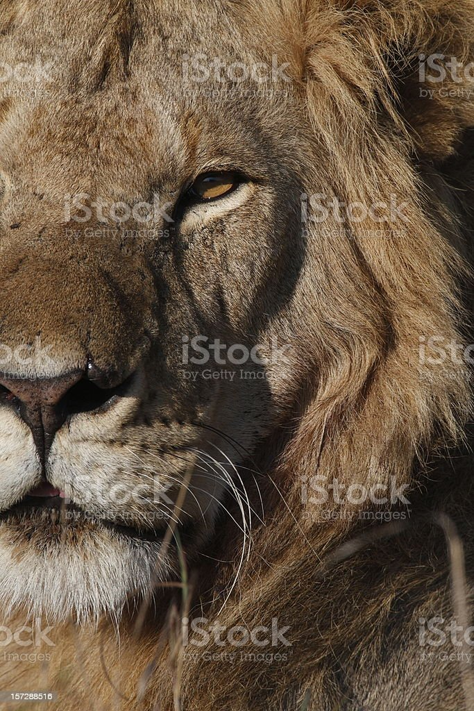 Close-up portrait of a male lion royalty-free stock photo