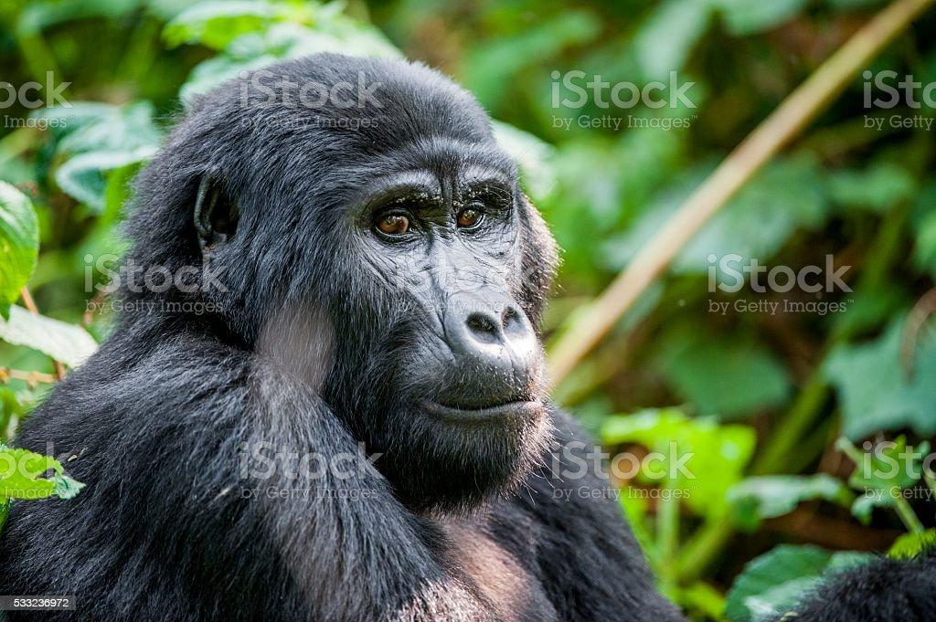 Close-up Portrait of a mountain gorilla stock photo