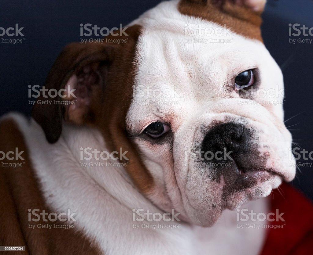 Close-up portrait of a pensive puppy of English Bulldog stock photo