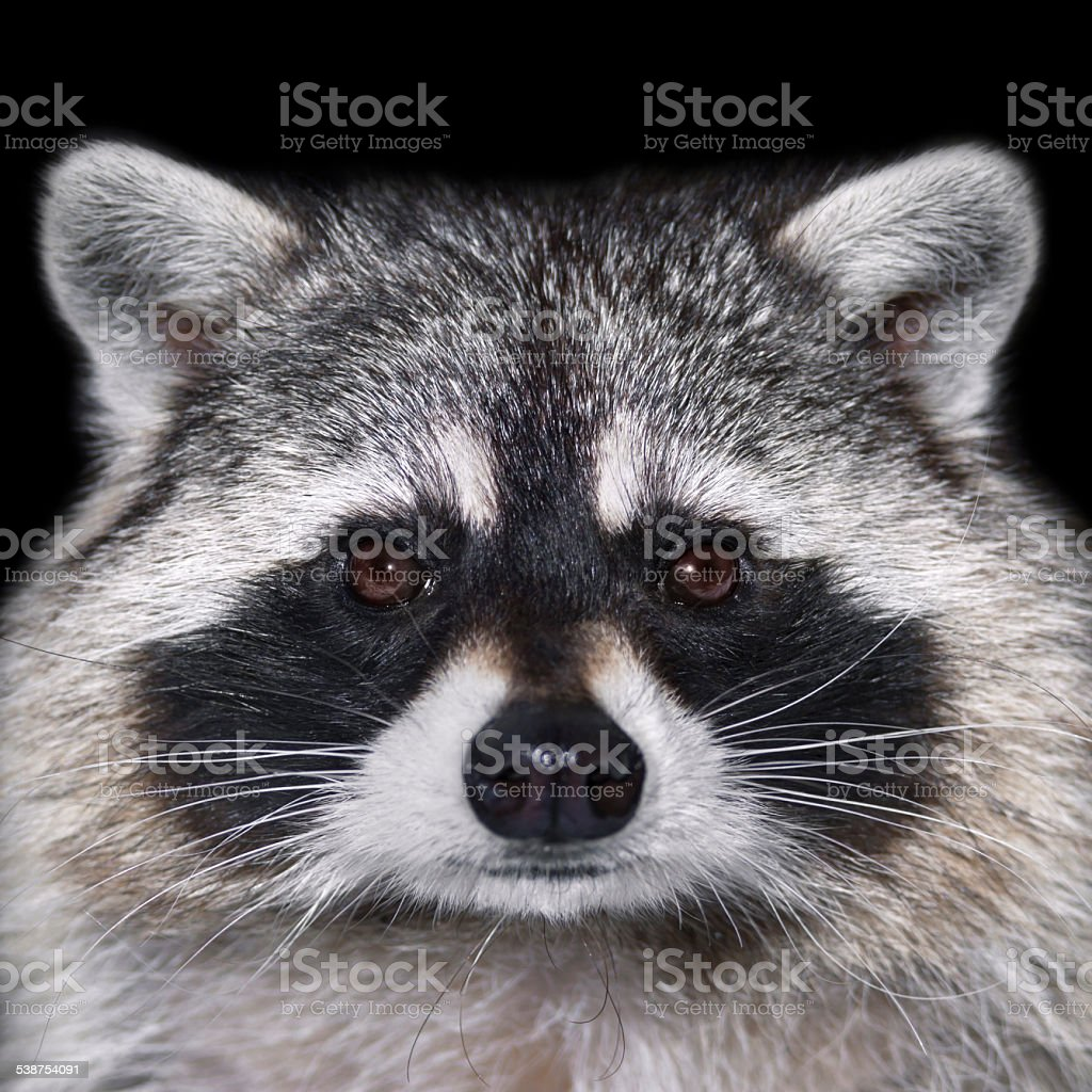 Closeup portrait of a raccoon. stock photo