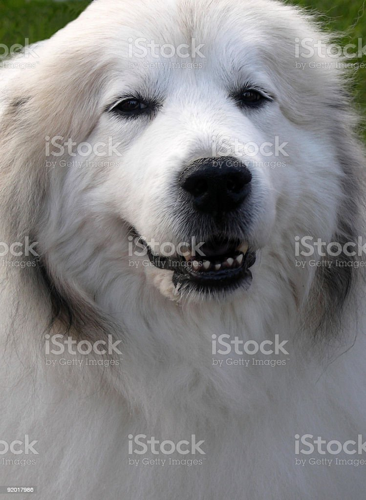 Close-up portrait of a smiling, white Great Pyrenees dog stock photo