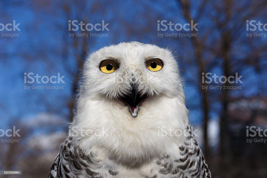 Closeup portrait of a Snowy Owl on Blue sky stock photo