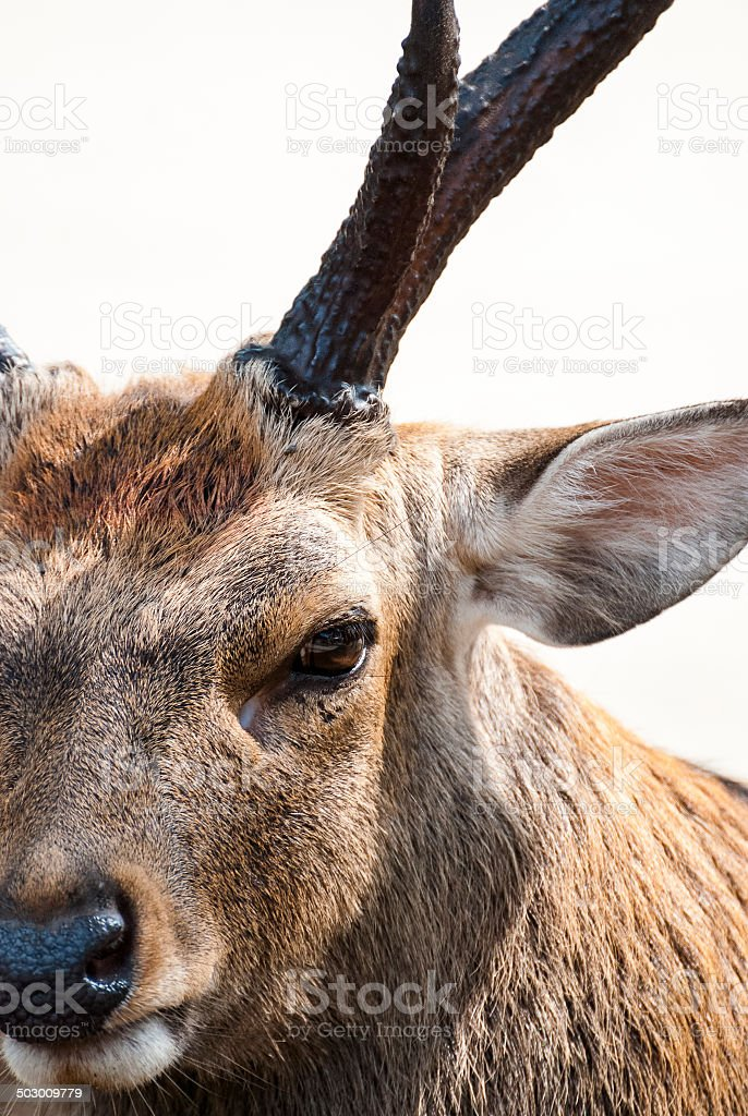 Close-up Portrait of a Stag stock photo
