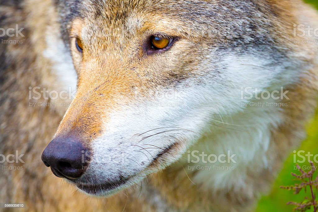 Close-up portrait of a wolf head stock photo