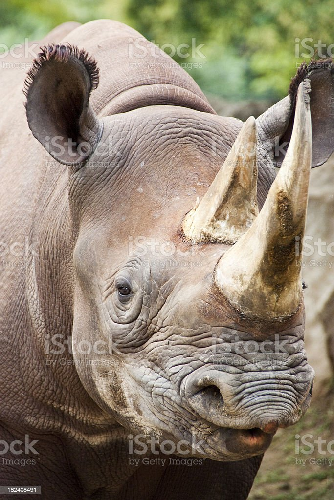 Closeup Portrait of baby Black Rhinoceros at local zoo stock photo