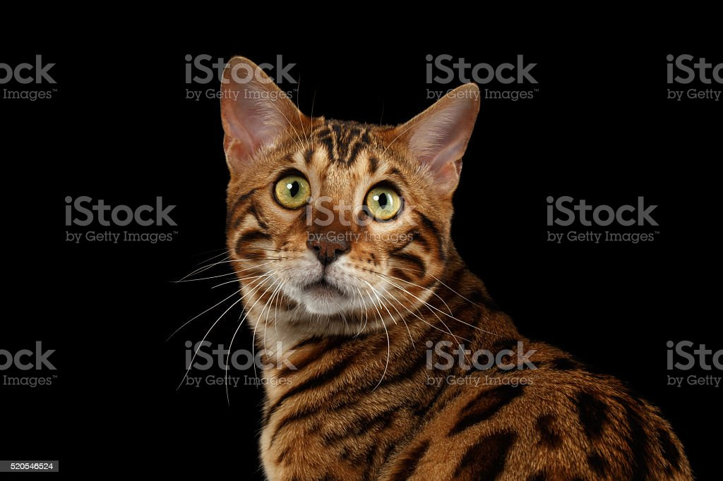 Closeup Portrait of Bengal Cat on Black Isolated Background stock photo