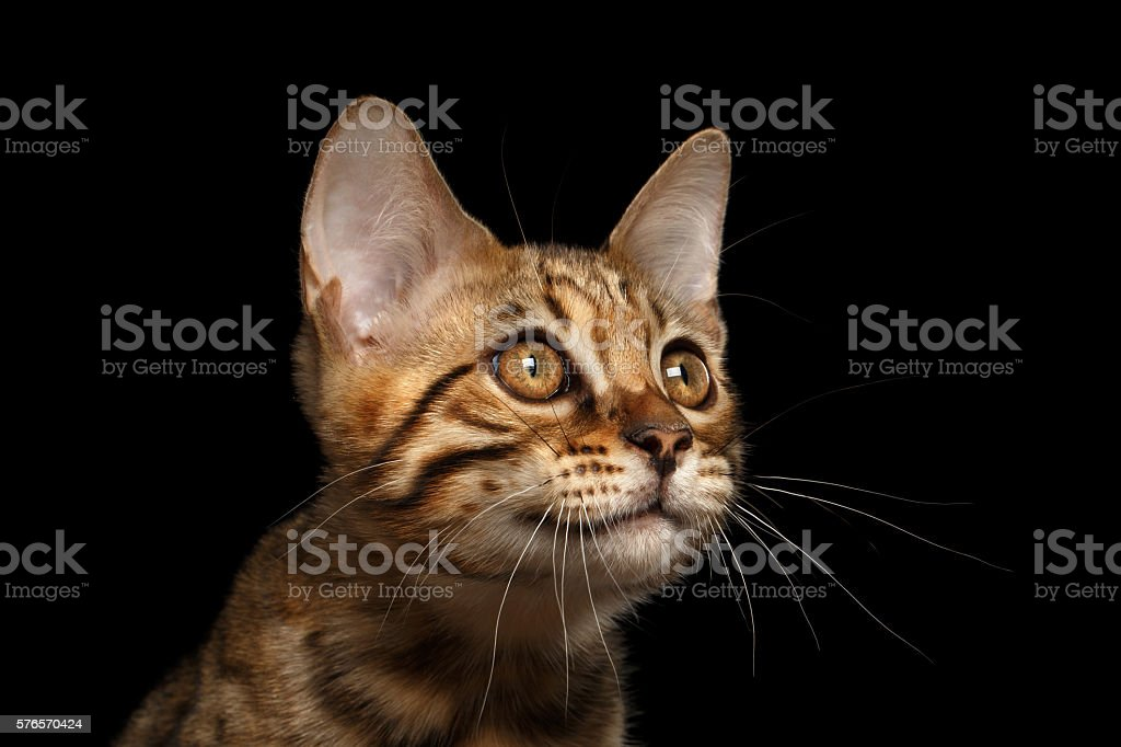 Closeup Portrait of Bengal Kitty Isolated Black Background stock photo