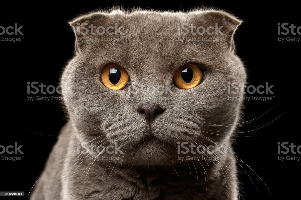 Closeup Portrait of British Fold Cat on Black stock photo