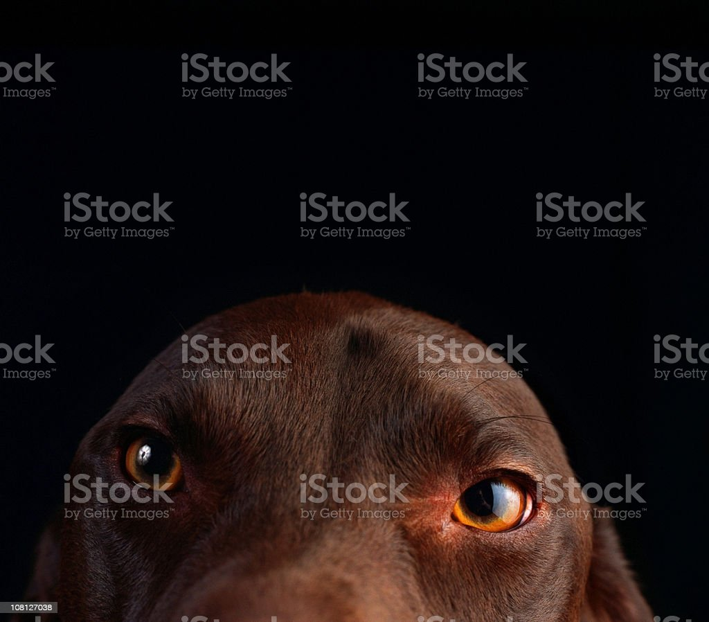 Close-up Portrait of Dog with Ears Down royalty-free stock photo