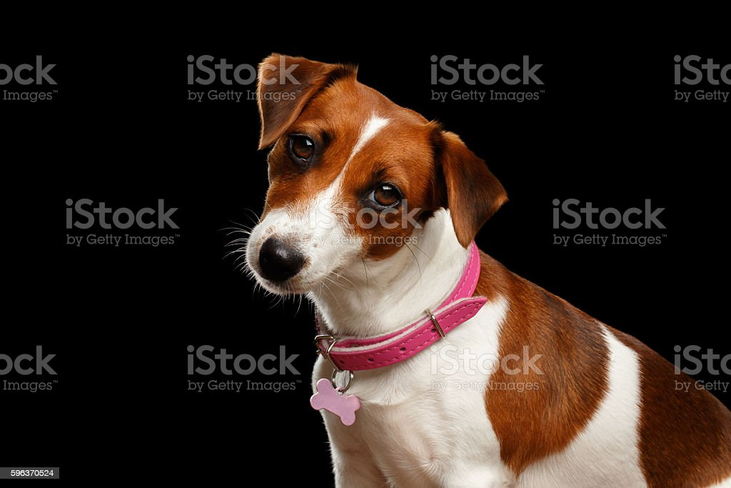 Closeup portrait of Jack Russell Dog on Isolated Black Background stock photo