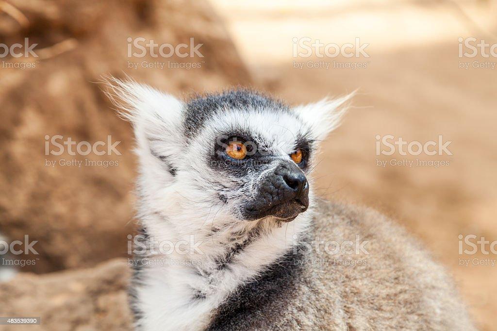 Close-up portrait of lemur catta stock photo