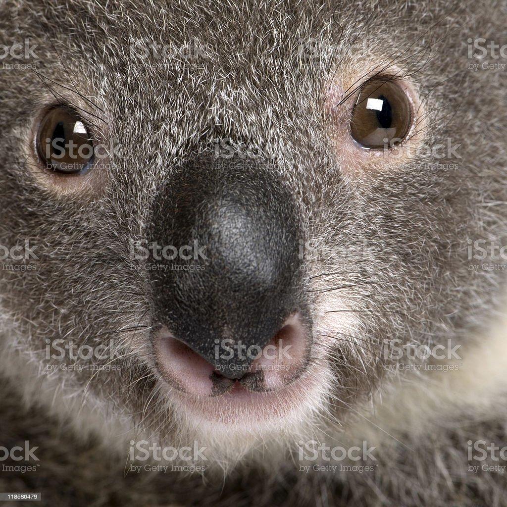 Close-up portrait of male Koala bear, studio shot royalty-free stock photo